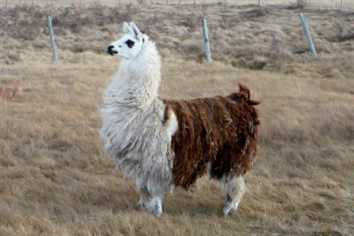 Two Tone the Llama